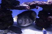 Puffer ryb mezi kameny