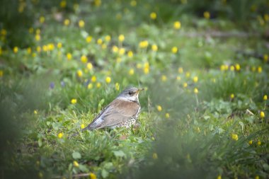 thrush fieldfare in early spring walks on the ground