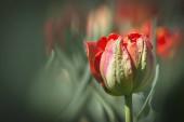 Gyönyörű virágok rózsaszín tulipán homályos háttérrel.