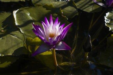 """Картина, постер, плакат, фотообои """"водное растение с фиолетовым цветком в озере в аргентине цветы одуванчики маки"""", артикул 351017906"""