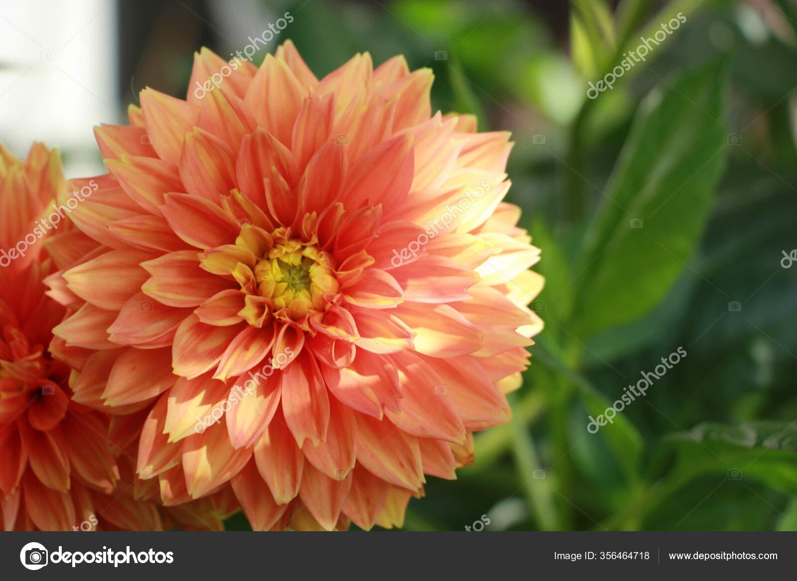 Dahlia Flores Jardim Perto Stock Photo C Flernata 356464718