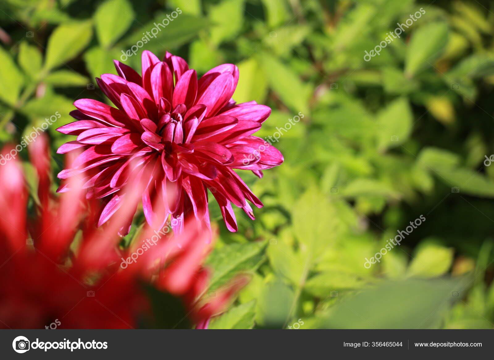 Dahlia Flor Jardim Perto Stock Photo C Flernata 356465044