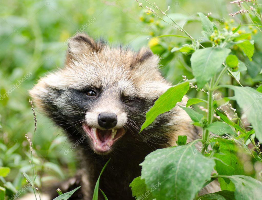 Funny face of smiling raccoon dog elecstasyy 127636048 funny face of smiling raccoon dog voltagebd Gallery