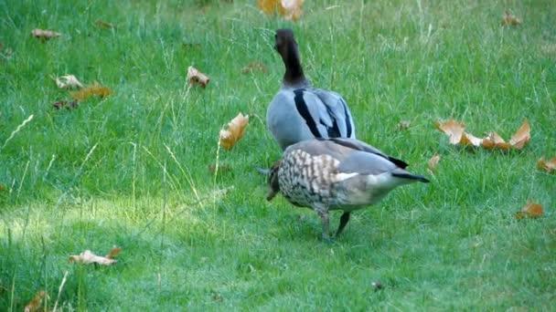 Zwei Graue Enten spazieren zusammen um Teich oder See. Sie spritzen beim Trinken mit Wasser. Nature Bird Wildlife, sehr süße Szene. Super-Zeitlupenaufnahmen auf grünem, lebendigem Gras.