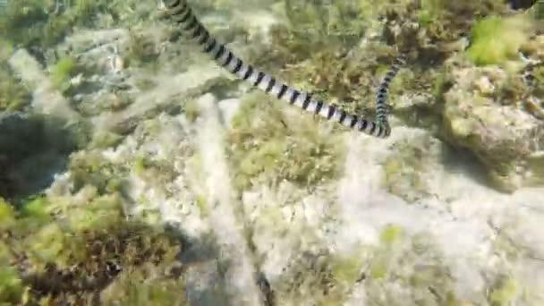 Sávos tengeri kígyó, tengeri