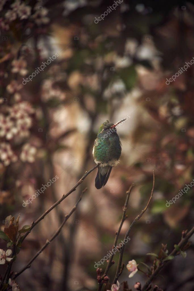 Colibri descansando entre flores de Ciruelo
