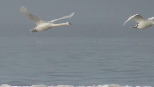 Wild white swans fly