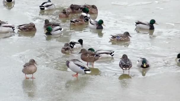 Télen a fagyott víz vadkacsa.