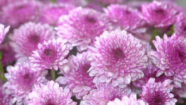 Zár megjelöl szemcsésedik-ból szórással vizet a lila virágzó anyukák virág