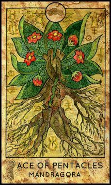 Mandrake. Minor Arcana Tarot Card. Ace of Pentacles