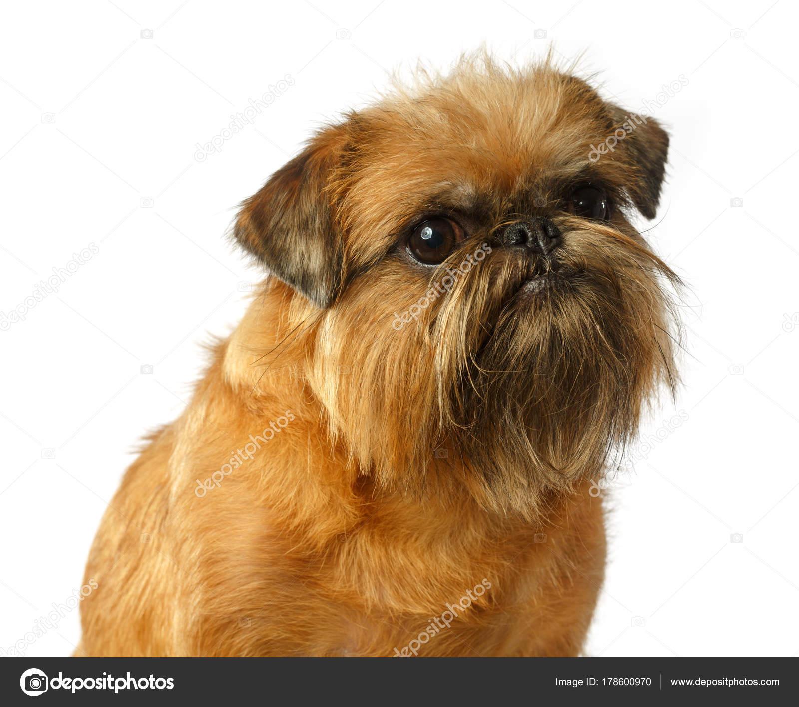 9a487626e4a Psí Portrét Bruselský Grifonek Grifonek Pes Žlutý Pes Samostatný — Stock  fotografie