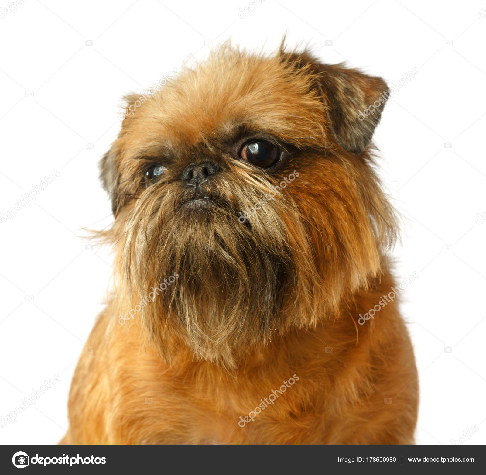 Psí Portrét Bruselský Grifonek Grifonek Pes Žlutý Pes Samostatný — Stock  fotografie f00b1e11a5
