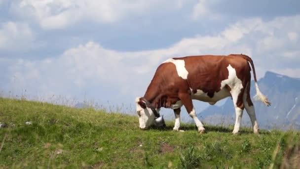 Alpské krávy pasoucí se, jedoucí trávu, produkující mléko v horách. Alpy, ekologicky čistá oblast, chov dobytka, zemědělská půda. Produkce masa a mléka