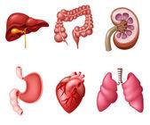 Internal Human Digestive System sets