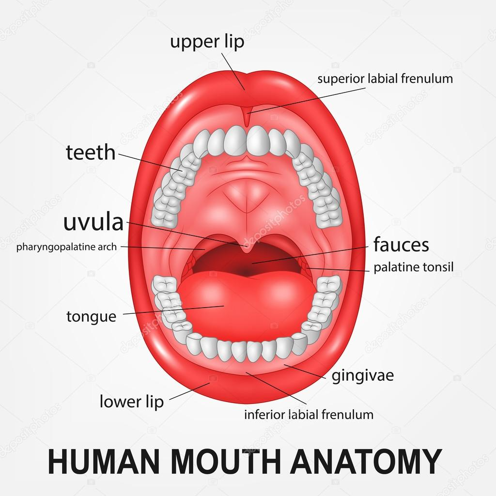 Human mouth anatomy, open mouth with explaining — Stock Vector ...