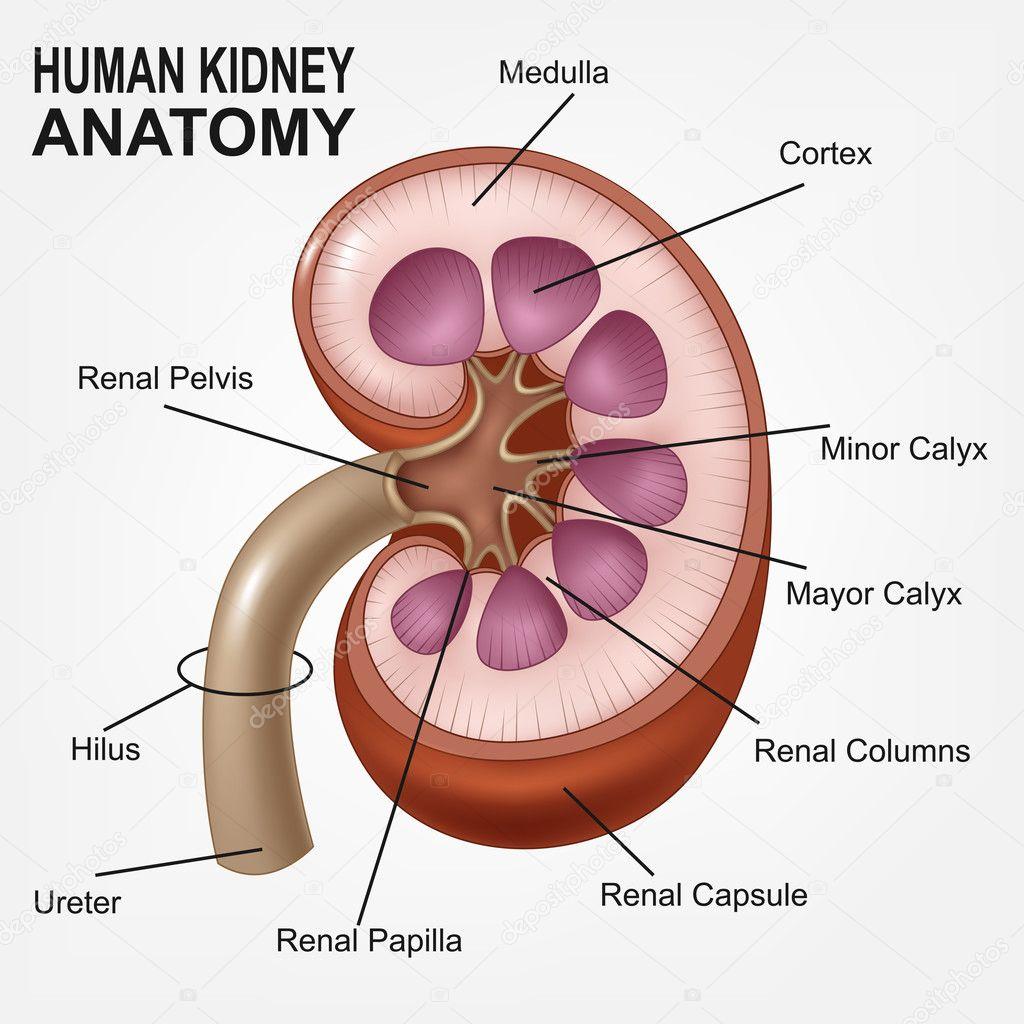 Human Kidney Anatomy Realistic Stock Vector Fightingfear 126134234