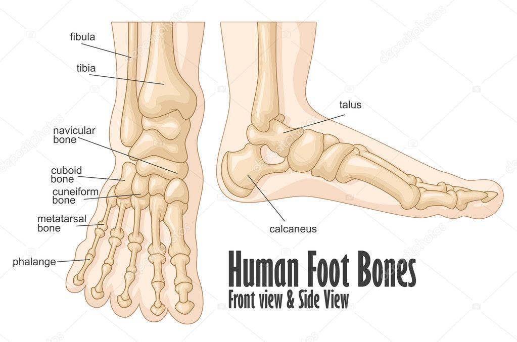 Pie los huesos frontal y lateral ven anatomía — Archivo Imágenes ...