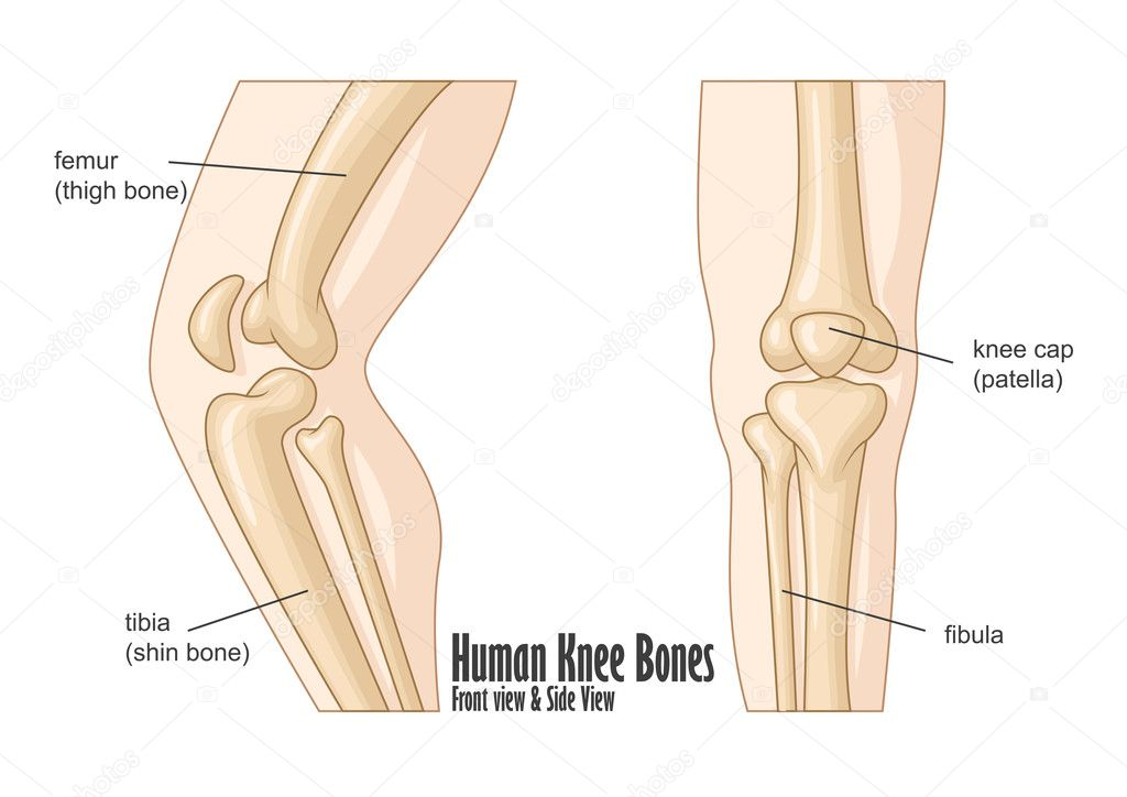 Human knee bones front and side view anatomy — Stock Vector ...