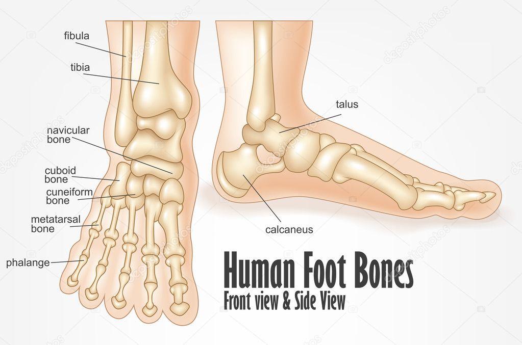 Menselijke voet botten voorzijde en kant bekijken anatomie ...