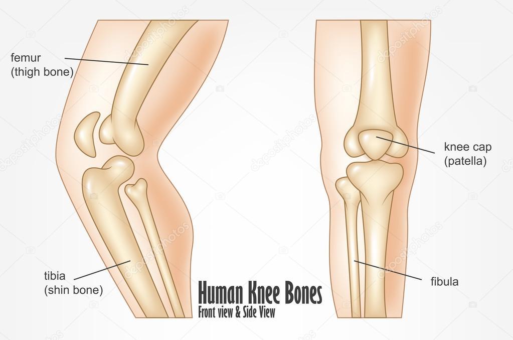 Menselijke knie botten voorzijde en kant bekijken anatomie ...