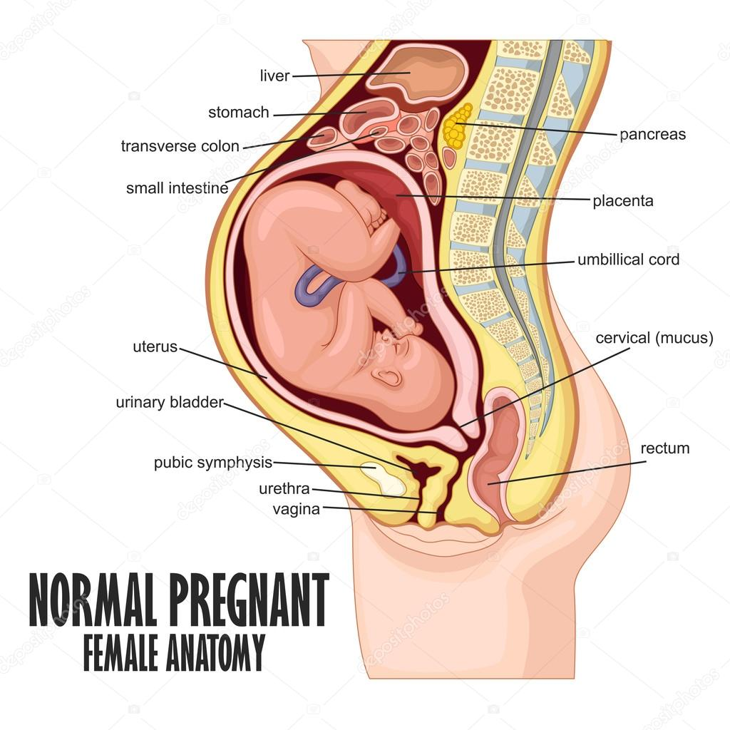 Normal Pregnant Female Anatomy Stock Vector Fightingfear 126163856