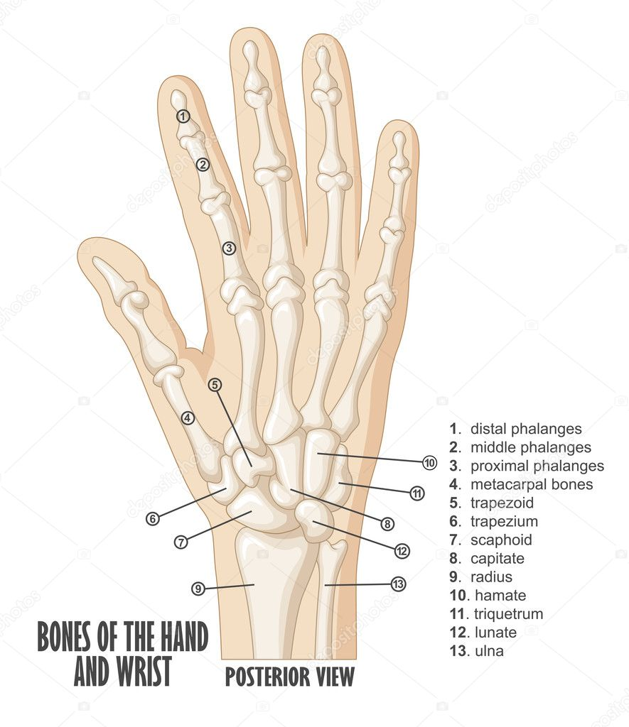Berühmt Knochen Der Hand Galerie - Anatomie Und Physiologie Knochen ...