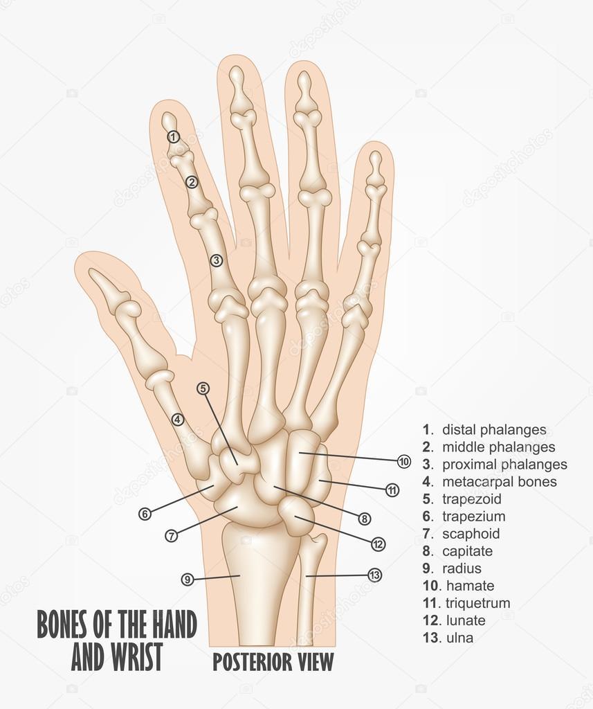 Knochen der Hand und des Handgelenks Anatomie — Stockvektor ...