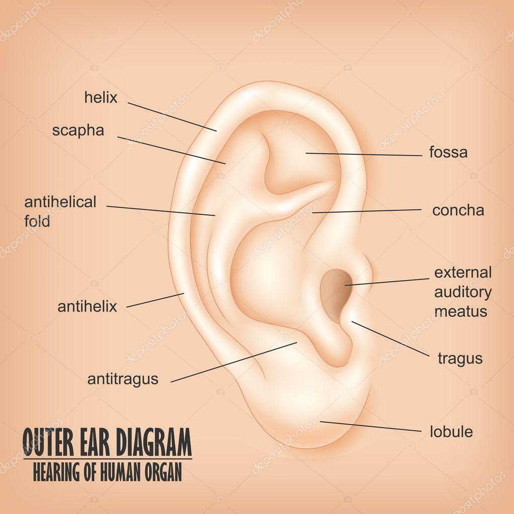 Oído oído externo diagrama de órganos humanos — Vector de stock ...