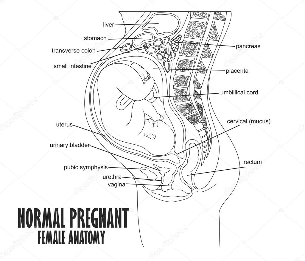 Normal Pregnant Female Anatomy Stock Vector Fightingfear 126170234