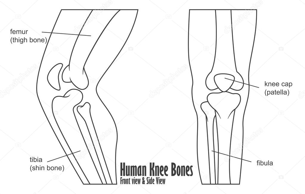 Human Knee Bones Front And Side View Anatomy Stock Vector