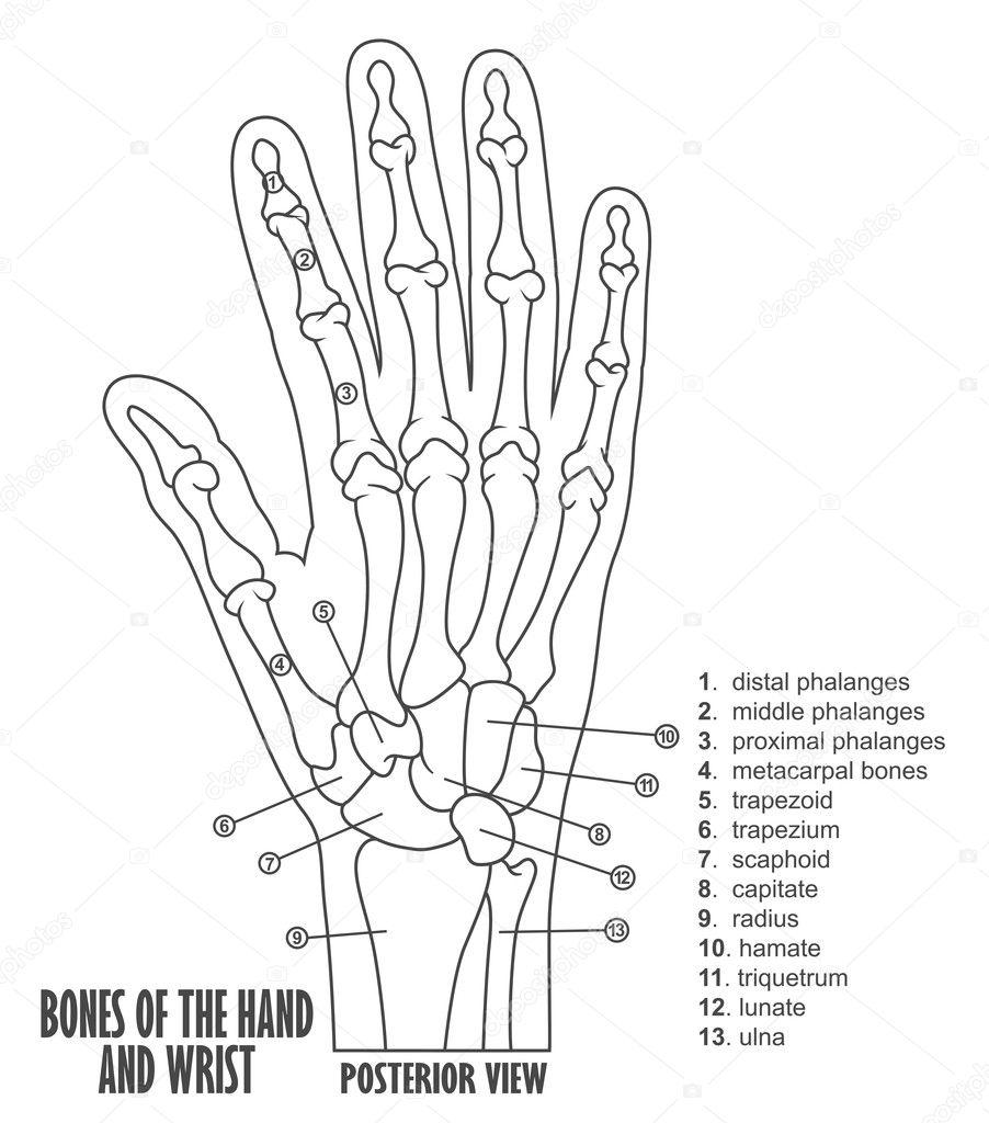 Beenderen van de anatomie van de hand en pols — Stockvector ...