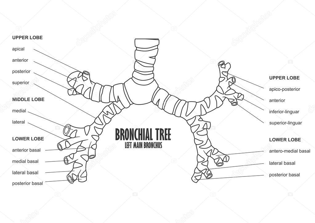 Bronchial Tree left main bronchus human anatomy — Stock Vector ...