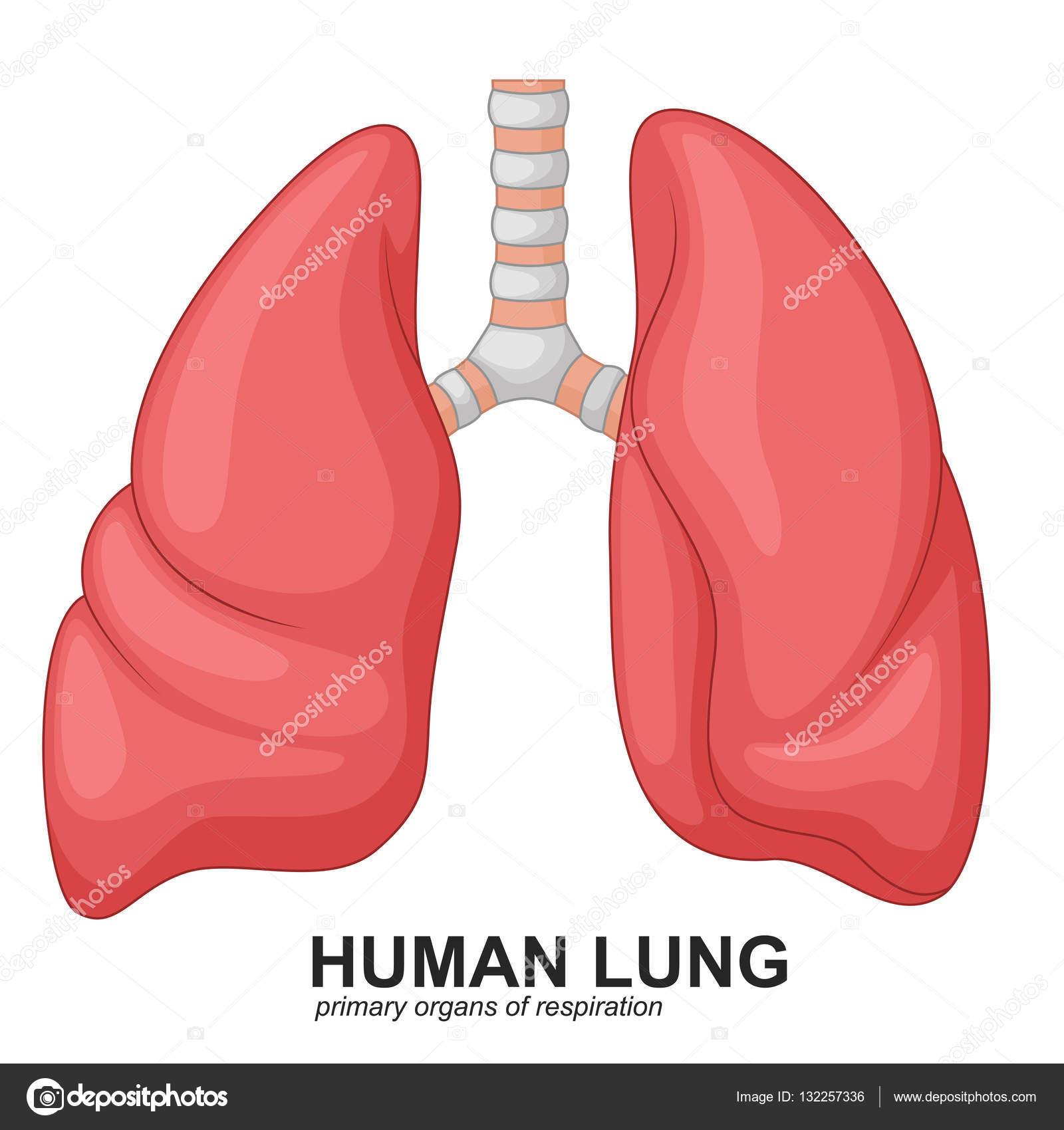 Humano dibujos animados respiratorias de los pulmones — Vector de ...
