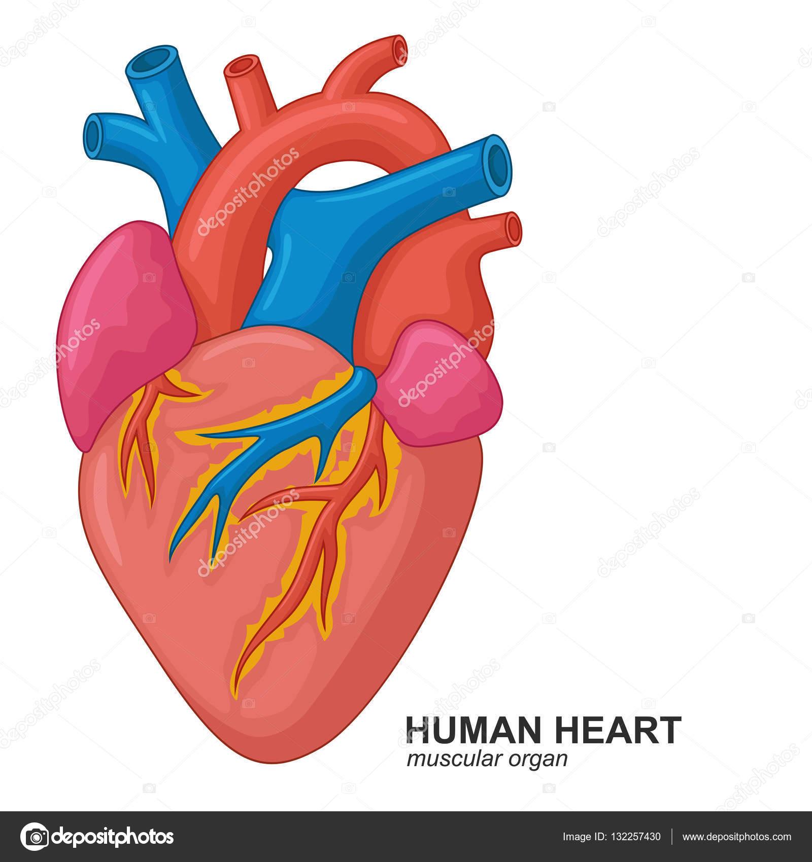 Dessin anim coeur humain image vectorielle fightingfear - Dessin coeur humain ...