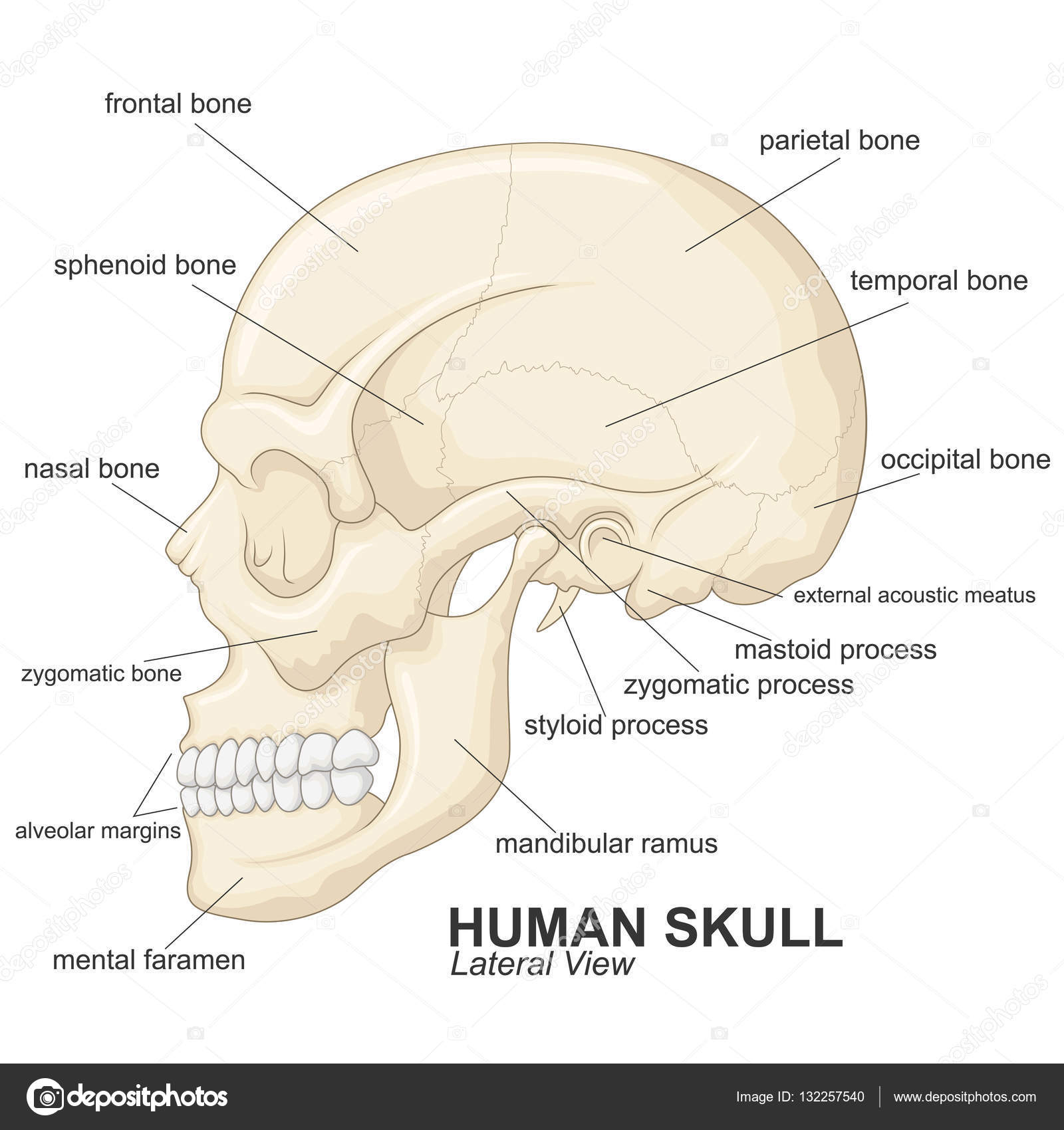 Vista lateral de cráneo humano con explicación — Vector de stock ...