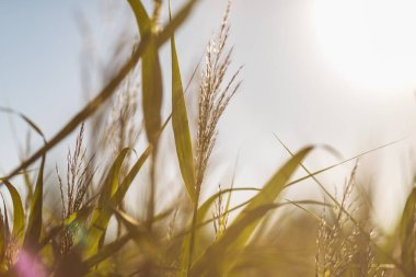 Some grass with natural light flare. Nature background concept