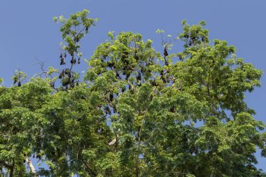 fruit bats hanging from trees in cambodia