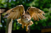 Eagle Owl. Euroasijská orlí sova je druh orlí sovy, který sídlí ve velké části Eurasie. Nazývá se také sova orlí a v Evropě se občas zkracuje na sovu orlí..