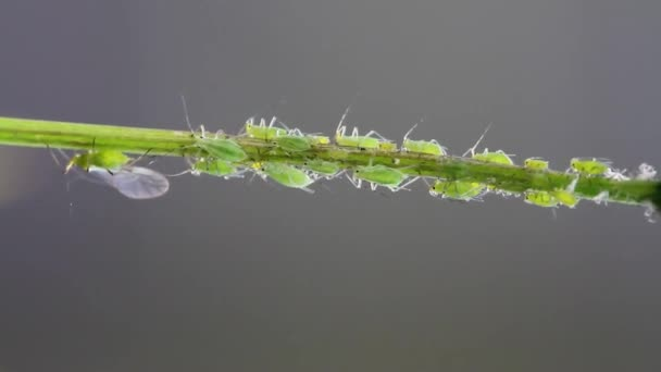 Aphids are small sap-sucking insects and members of the superfamily Aphidoidea. Common names include greenfly and blackfly, although individuals within a species can vary widely in colour.