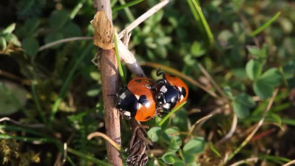 Coccinellidae is a widespread family of small beetles ranging in size from 0.8 to 18 mm. The family is commonly known as ladybugs in North America, and ladybirds in Britain and other parts of the English-speaking world