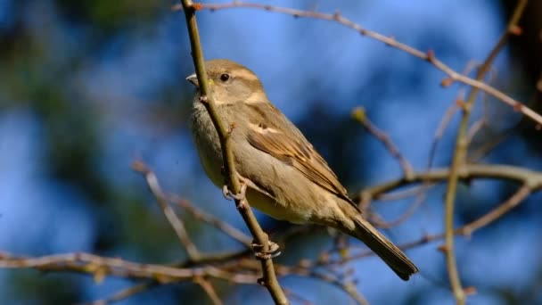 Female House Sparrow in flock looking for food in urban house garden. UK.
