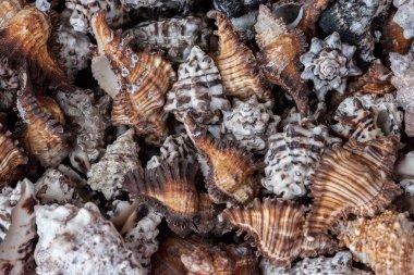 Empty sea shells of molluscs