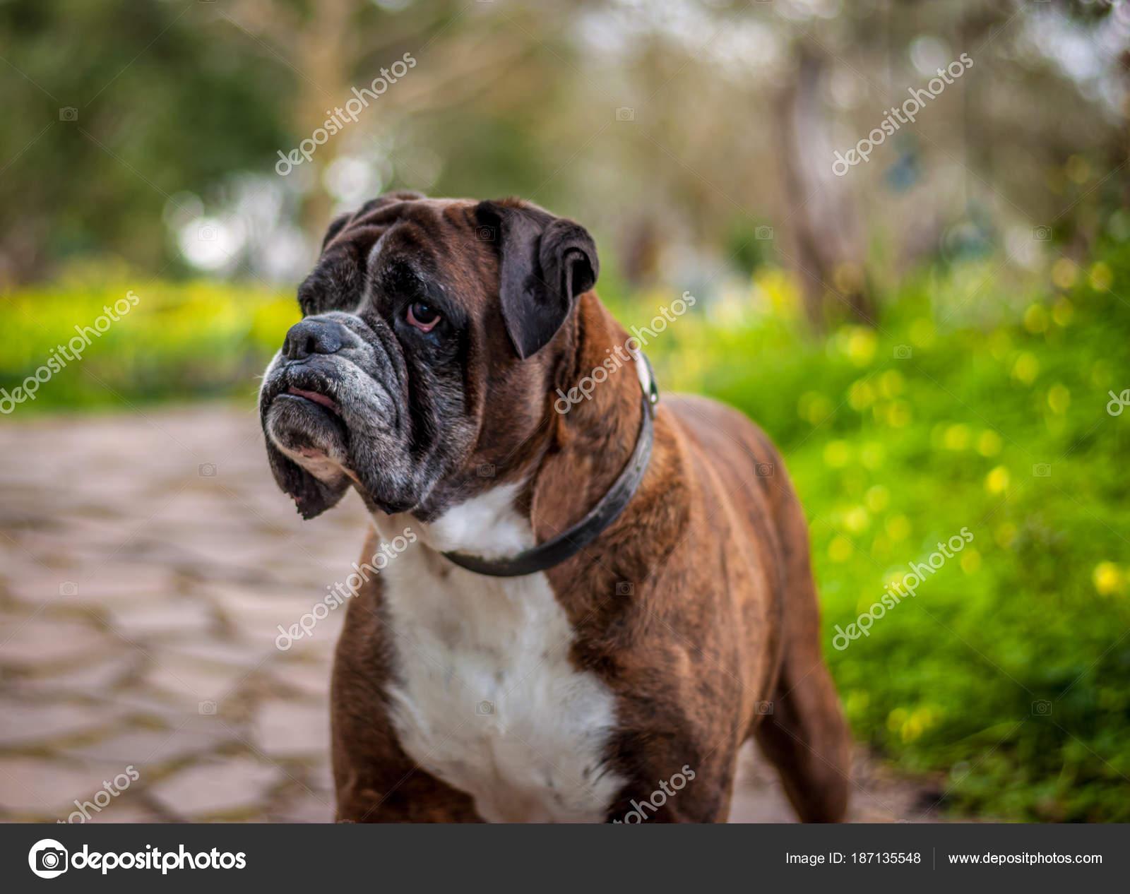 gros plan de chien boxer allemand photographie replica73 187135548. Black Bedroom Furniture Sets. Home Design Ideas