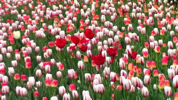 Pole tulipánů v květu