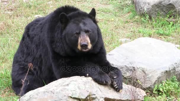 A big black bear in a valley