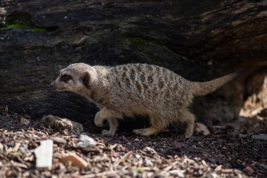Portrait of an adult meerkat walking on the ground into the wild
