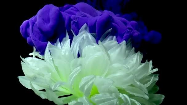 Bujné bílé květy chryzantémy na stylovém pozadí. Fialová akvarel inkoust ve vodě na černém pozadí. Koncept Mezinárodního dne žen 8. března.