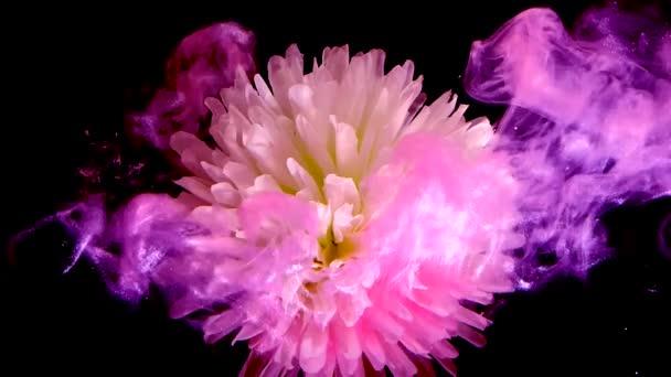 Bílo-růžový květ chryzantémy ve fialové mlze. Fialový inkoust ve vodě na černém pozadí. Koncept Mezinárodního dne žen 8. března.