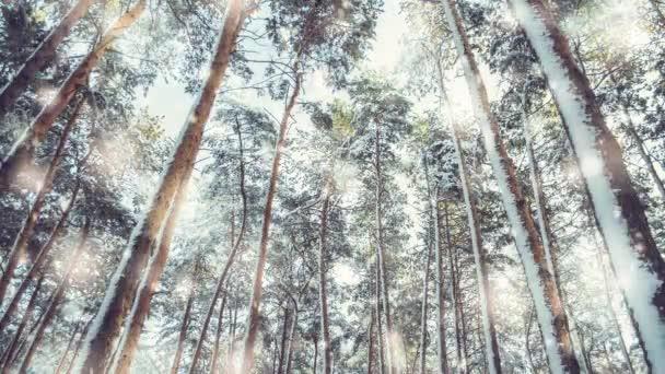 Strom borovice smrk v zimě kouzelný les s padající sníh slunečný den.
