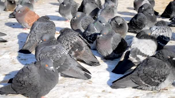 Many gray pigeons sit on the floor and bask in the sun